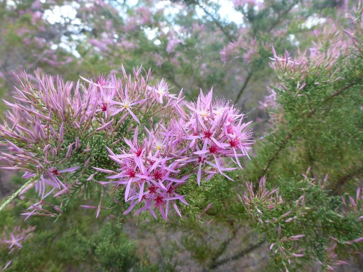 Kimberley Heath (Calytrix exstipulata) in flower in the Top End, Northern Territory,July