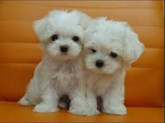 Cute Maltese Puppies.