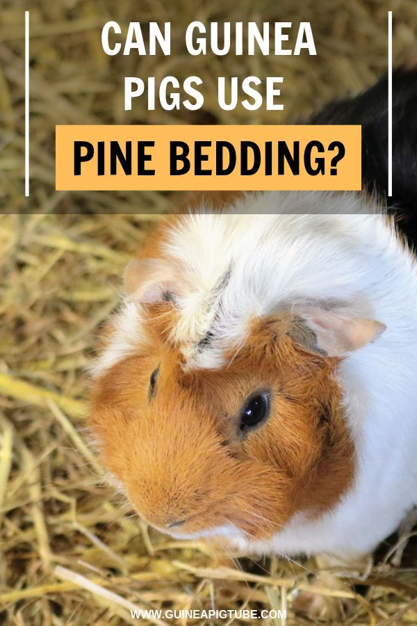 Pin On Guinea Pig Guides