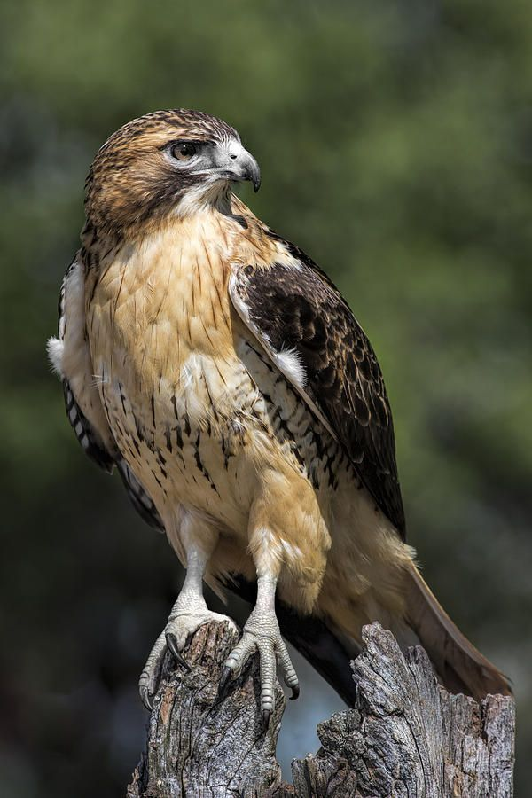 Red Tailed Hawk by Dale Kincaid
