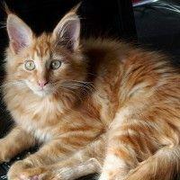 #dogalize Gatto Maine Coon prezzo e caratteristiche #dogs #cats #pets