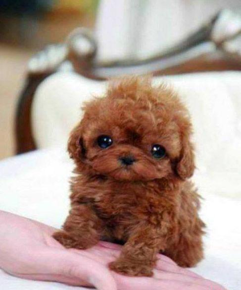 Filhotinho de Poodle Marrom super fofo