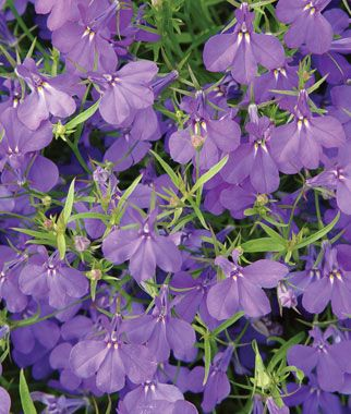 Lobelia, Crystal Palace Blue, for full sun ground cover in front and retaining wall