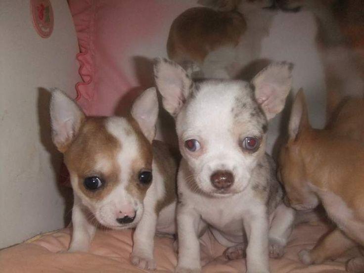 Chihuahua puri