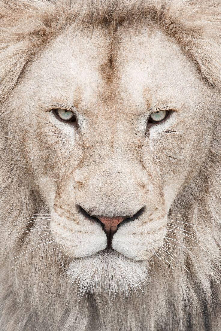 White lion!!!