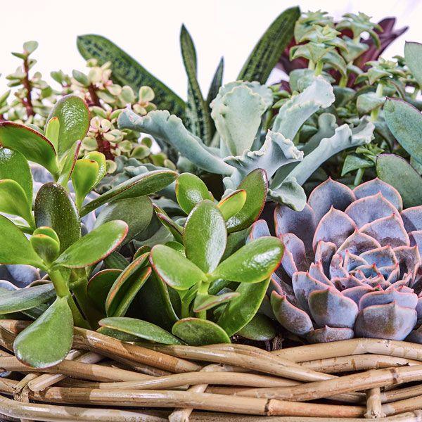 Grafarrangement Mand Succulenten