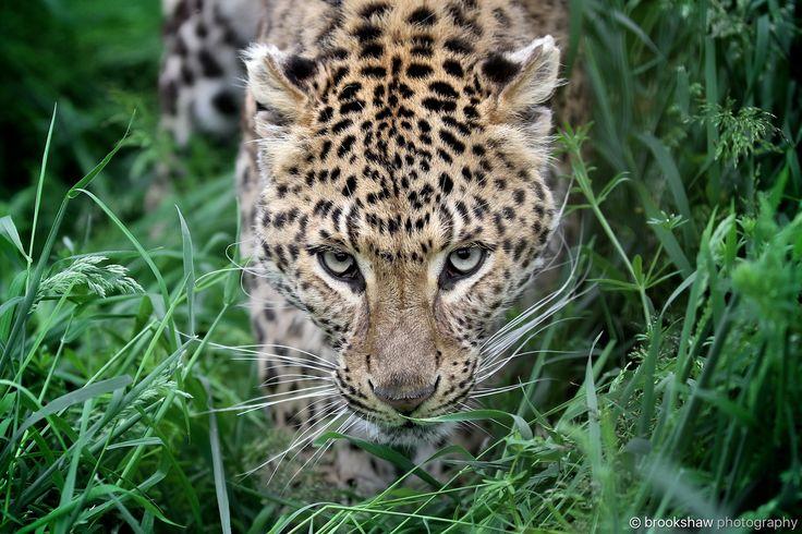 Atara - I had to move fast after this shot... :-/  A stunning North Chinese Leopard named Atara at WHF Big Cat Sanctuary...