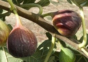 Figs - Varieties and Growing Information - Order Online – Four Winds Growers