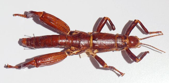 Tree lobsters, also called Lord Howe Island stick insects (Dryococelus australis), are a species endemic to the remote Lord Howe Island Group, an irregularly shaped volcanic remnant in the Tasman Sea between Australia and New Zealand.