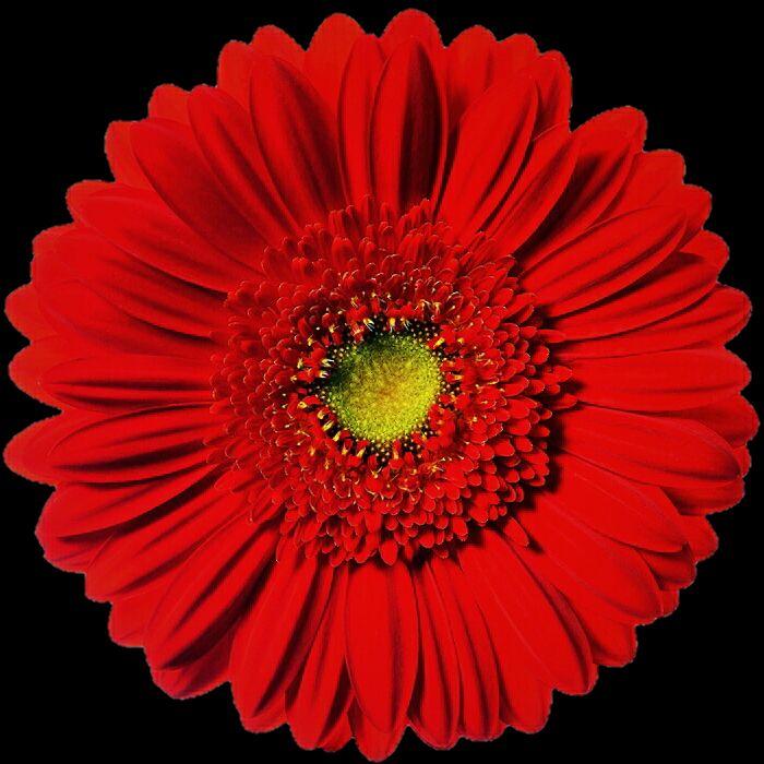 Red Flower Flowers Red Flowers Gerbera Daisy