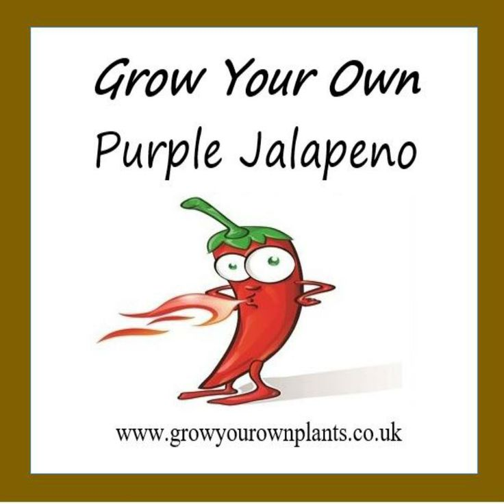 Each plant kit contains all you need to grow your own Purple Jalapeno Hot Chilli plant kit from seed