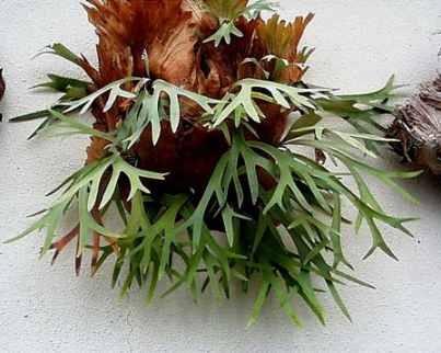 Nome Científico: Platycerium bifurcatum; Nome popular: Chifre-de-veado, samambaia chifre-de-veado; Família: Polypodiaceae.   Ocorrência: Oceania.   Ciclo de vida: Perene; Luminosidade: meia-sombra; Irrigação: 3-4 vezes por semana, conforme o ambiente; Temperatura: de clima quente, tolera o frio.