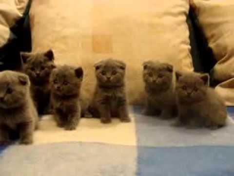 Шотландские вислоухие котята FlashMob