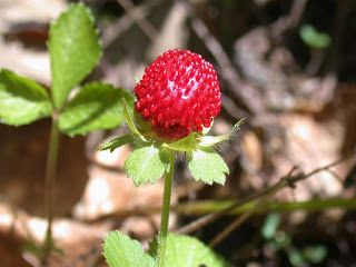 Mock Strawberry Fruit pictures