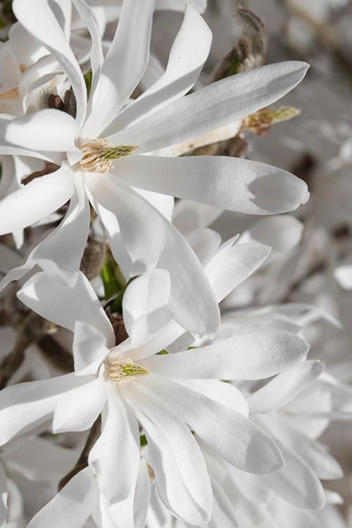 Buy Royal Star Magnolia Tree For Sale Online From Wilson Bros Gardens