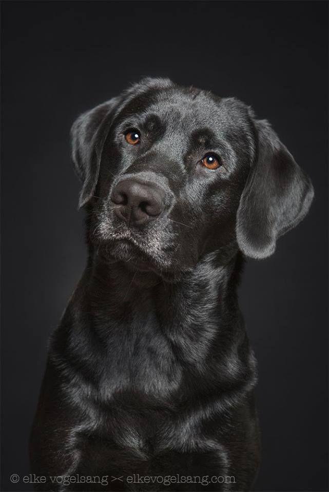 Idee Von El Gucki Auf Rund Um Den Hund Hunde Schwarzer Labrador Retriever Tiere Hund