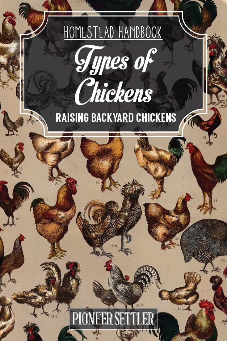Raising Backyard Chickens | Different Types Of Chicken and How To Choose The Right Chicken Breed To Raise by Pioneer Settler at http://pioneersettler.com/types-of-chickens-chapter-2-raising-backyard-chickens/