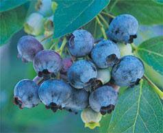 Non gmo blueberries