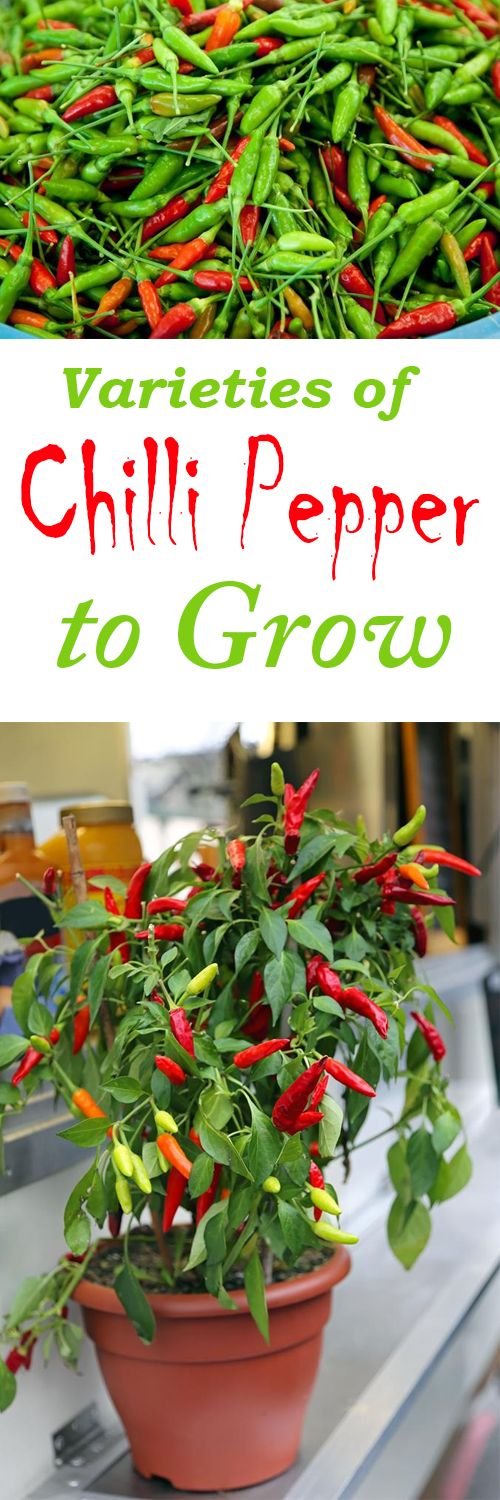 How to Grow Your Own Chillies, Growing Chillies from Seed,Chillies Grow,Chillies from Seed, Harvest Chillies,Chillies Plants,