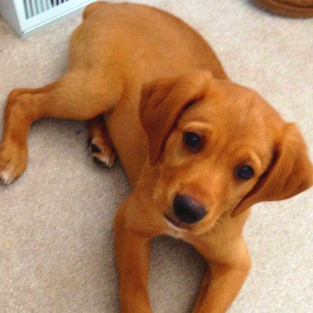 Golden Boxer Puppies Pictures Animals Pinterest