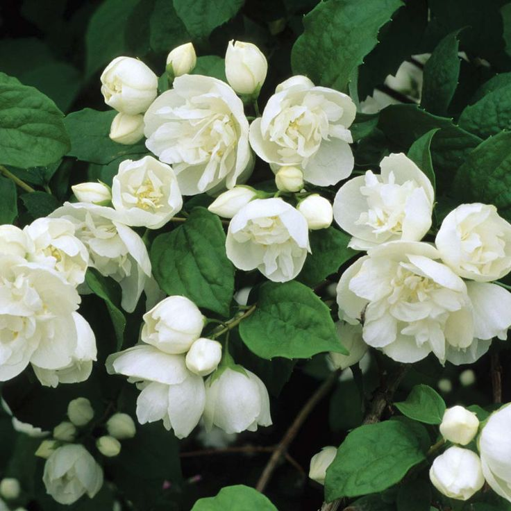 Philadelphus 'Virginal' Mock Orange - a hardy shrub, fragrant white flowers in early summer, deciduous, sun or semi-shade