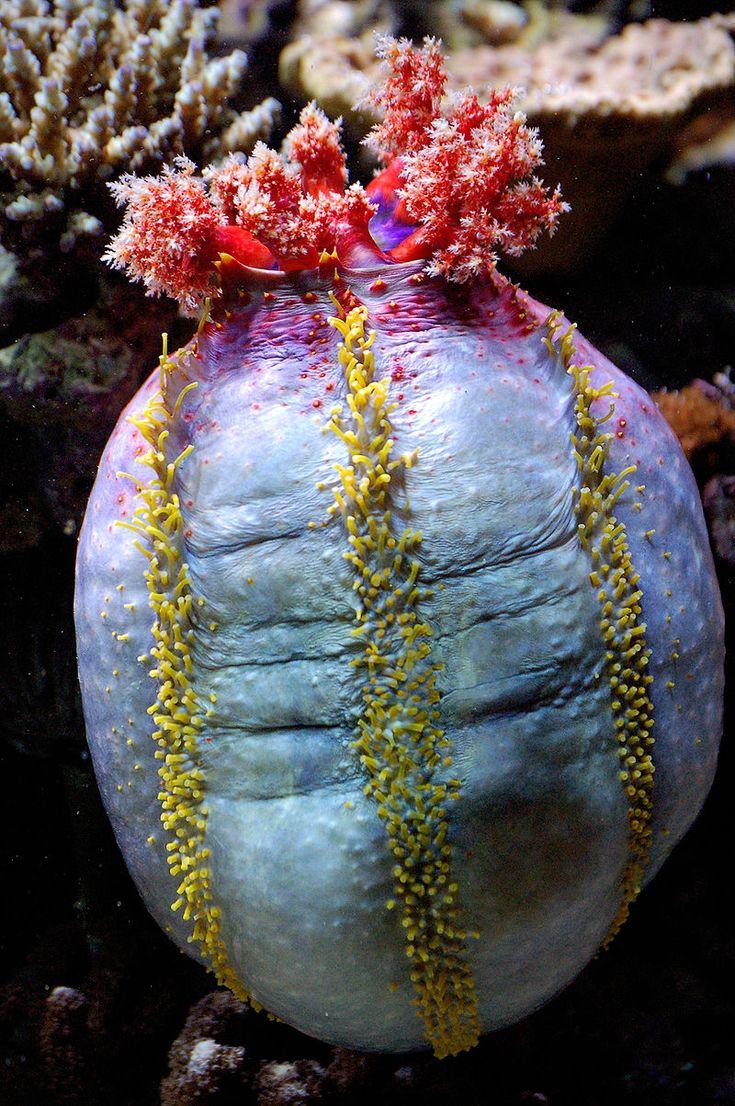 """Sea cucumber Pseudocolochirus axiologus or """"sea apple"""