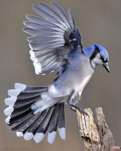 Google Image Result for http://birdsflight.com/wp-content/uploads/2012/03/blue-jay-facts.jpg