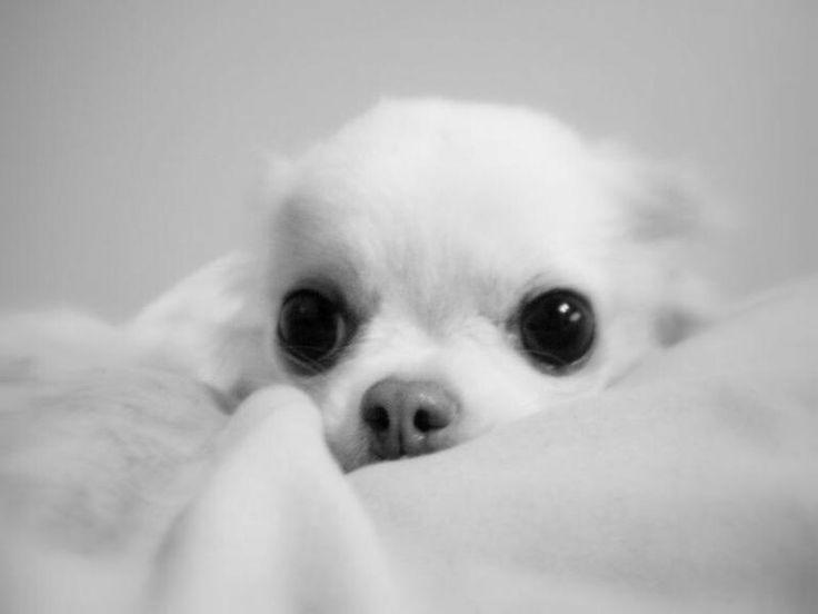 Pin Von Carsten Weigert Auf Dies Und Das Hund Chihuahua Terrier Hund Hunde