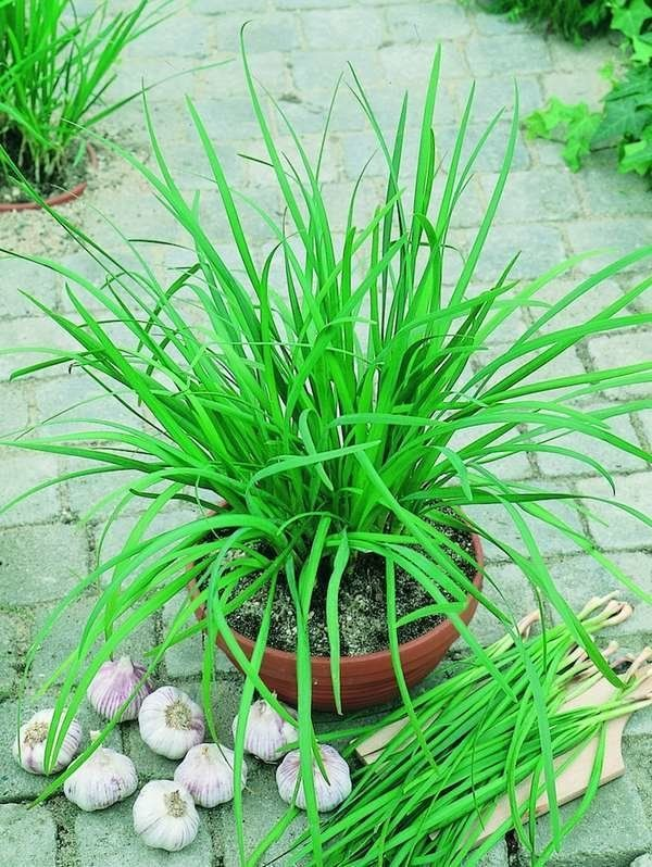 How To Harvest Collect Chive Seeds In Your Garden Chive Seeds Chives Plant Perennial Herbs