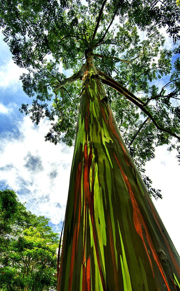 Árvore arco-íris, um eucalipto em Kauai, Havaí, USA.  Fotografia: jwilsonnorton.  http://amongraf.ro/check-out-the-most-majestically-trees-in-the-world/20/