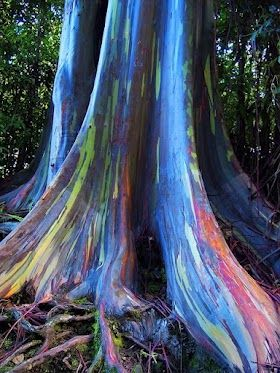 This form of eucalyptus tree grows in the Maui rainforest where the bark peels back to reveal a gorgeous range of colors.