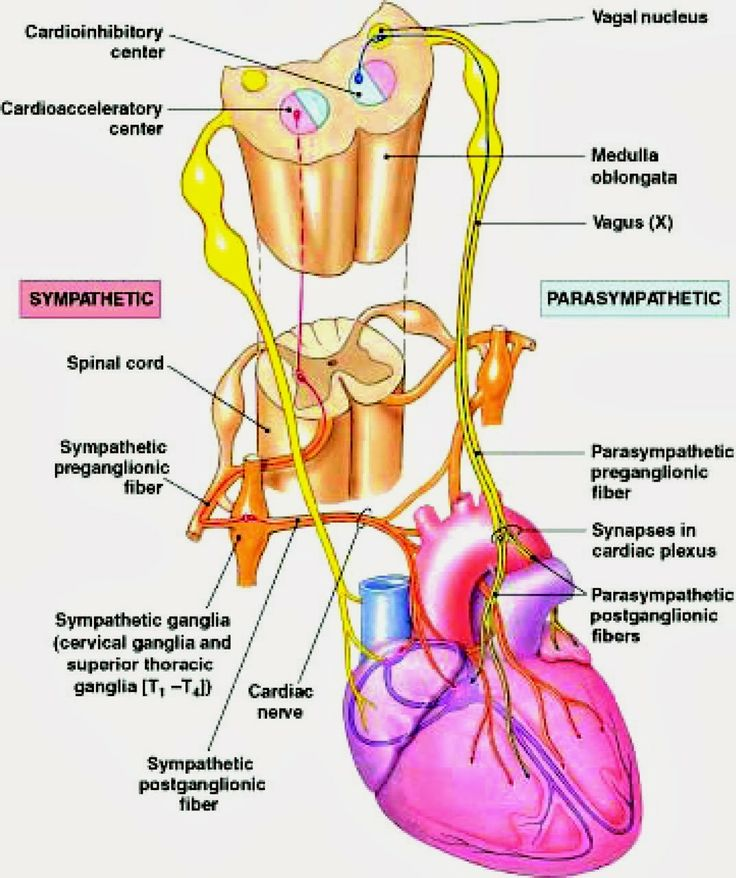 DIAGRAMS: Heart nerve control dirgram | nice post | Pinterest