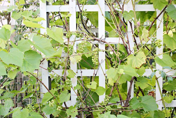 Oravankesäpesä | Viiniköynnös Vitis vinifera 'Zilga'