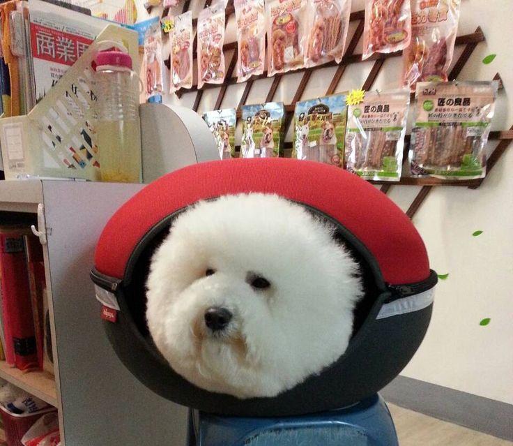 Super cute #Bichon head in IBIYAYA pet bed #Petbed