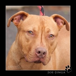 JOE-JINGA-Puppy! Under 1Yr. GOOD WITH DOGS! Purebred Rednose pup. POTENTIAL:) is an adoptable Pit Bull Terrier Dog in Meriden, CT. JOE JINGA! Purebred rednose pitbull-raised by local breeder for famil...