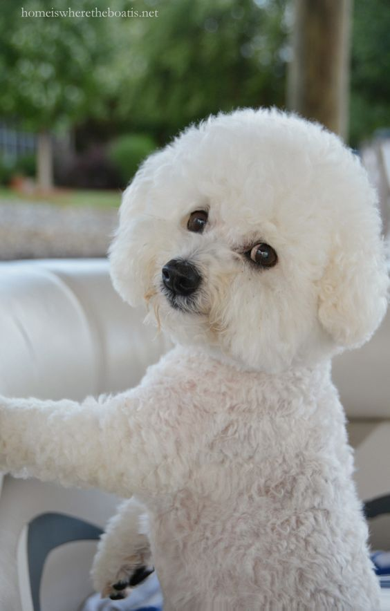 bichon se usa - photo #4
