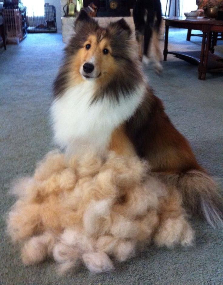 Good Thing That Shelties Don T Shed Omg This Is Why I