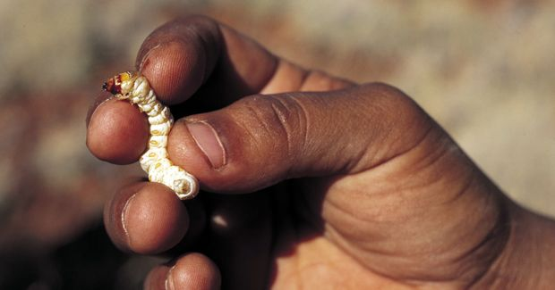 The witchetty grub has been used by Aboriginal people to treat burns to the skin. (Photo: David Dare Parker)