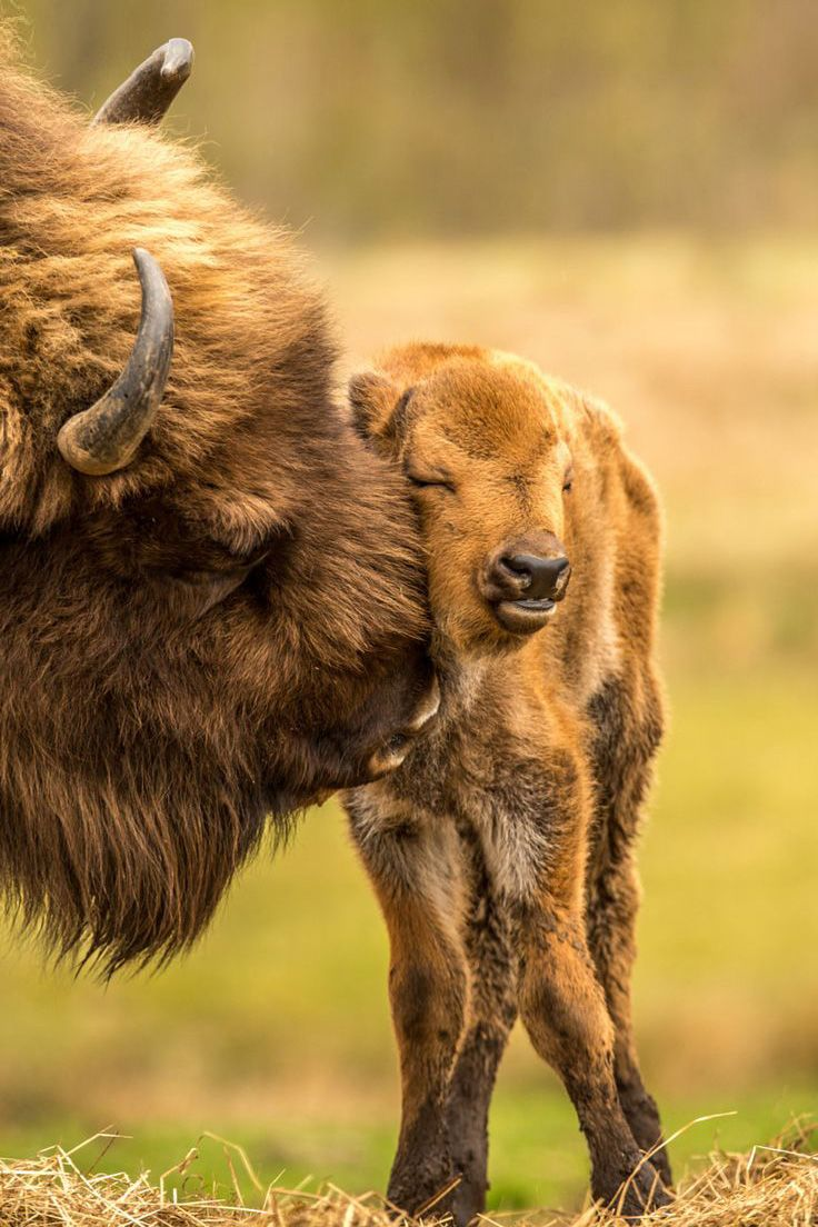 Bison Calf loved by Mama*
