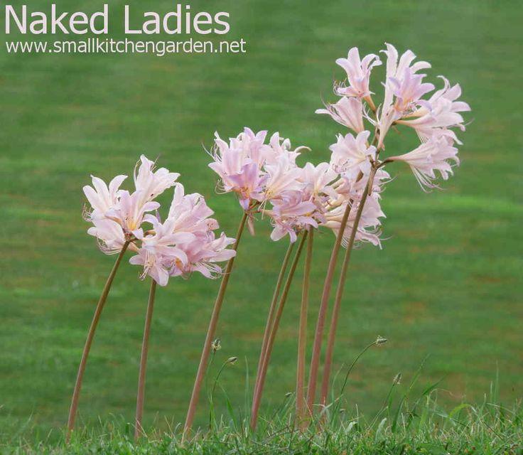 Naked Ladies or Surprise Lilies