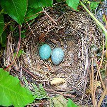 Merle noir Nid de Merle noir contenant deux œufs — Wikipédia