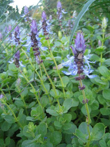 Coleus Canina - The ultimate cat repellent plant