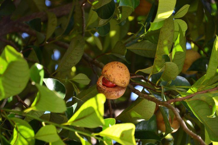 Nutmeg (Myristica fragrans) Wild Crafted Essential Oil