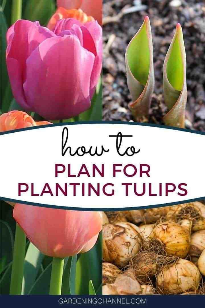 31+ What to do with potted tulips after they bloom info