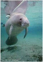 Peixe-boi é um animal de rio, vivendo em rios da região amazônica ; outra espécie parecida , mas de mar é o manati