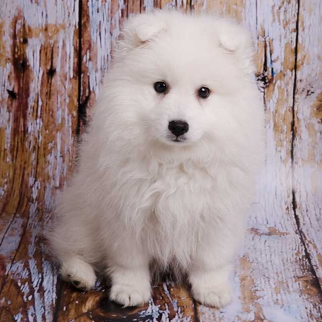 Casper at 10 weeks - my baby boy! | Nordic/Spitz Dogs ...
