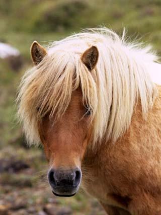 Shetland pony, Shetland Islands, Scotland