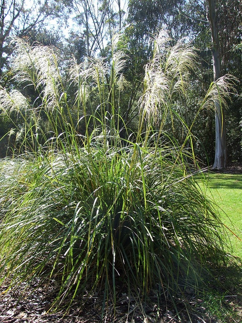 Tussock Grass - want this in front yard