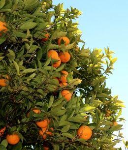 Citrus Tree Care for the Low Desert