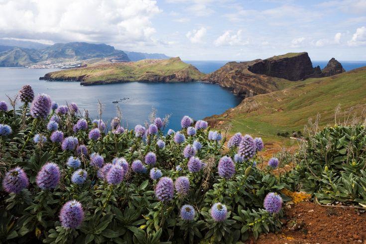 Pride of Madeira (Echium candicans or Echium fastuosum). #madeira #secretmadeira
